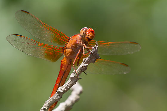Bright red dragonfly - Libellula croceipennis - male