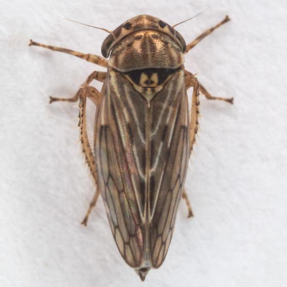 Ceratagallia californica ? - Ceratagallia