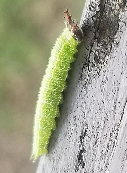 Strange caterpillar with antlers - Asterocampa