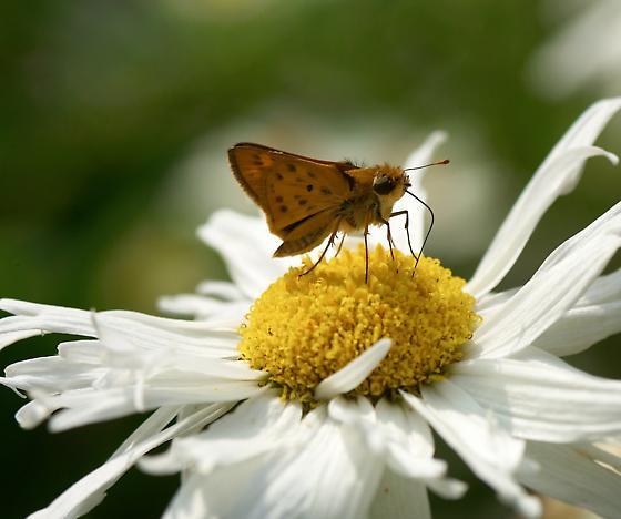 Fiery Skipper - Hylephila phyleus - Hylephila phyleus