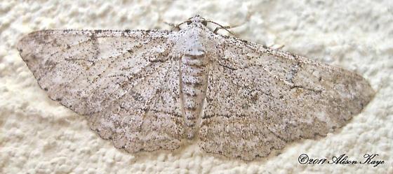 Unidentified Moth - Iridopsis fragilaria - female