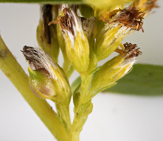 Cecidomyiinae, Goldenrod Flower Gall - Schizomyia racemicola