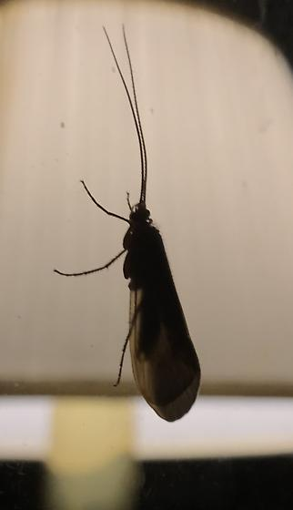 bugs on window at night - Pycnopsyche
