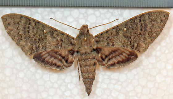 Sphingidae - Manduca muscosa