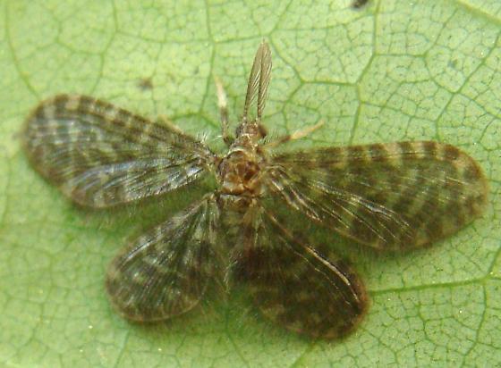 Pleasing Lacewing? - Nallachius americanus - male