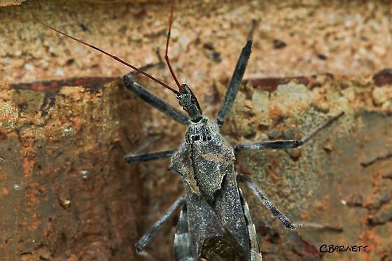 Found on brick wall of home Texas Panhandle.  - Arilus cristatus
