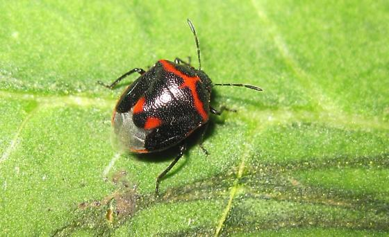 What species is this stink bug? - Cosmopepla lintneriana