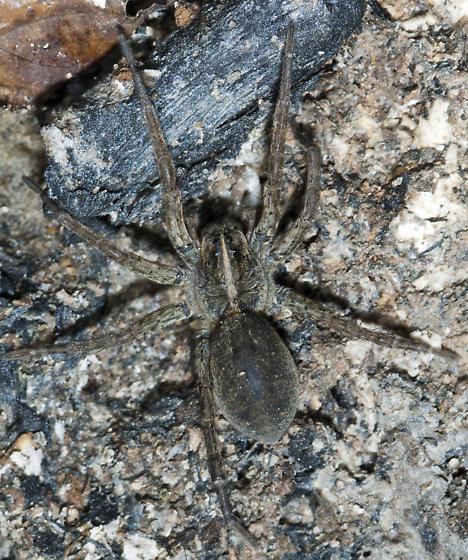 Lycosid - Tigrosa helluo - female