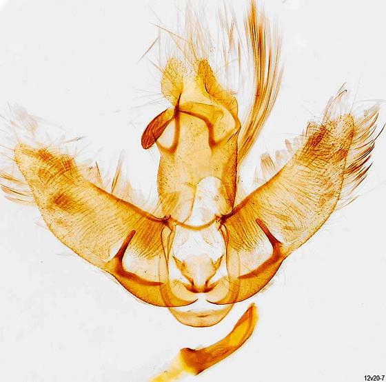 genitalia - Agonopterix argillacea - male