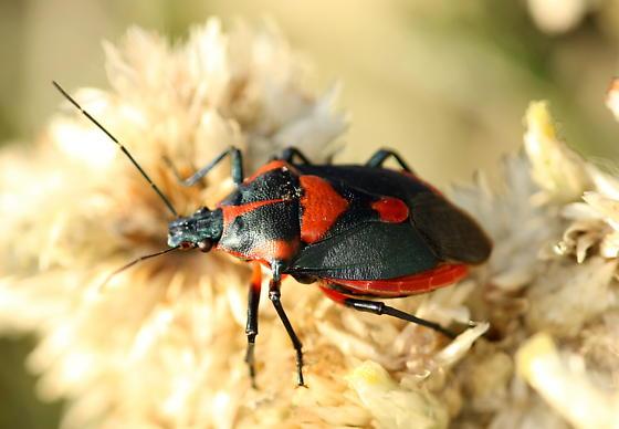 Red and black bug - Euthyrhynchus floridanus