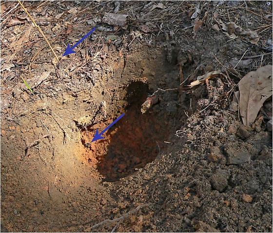 excavated burrow of Mycotrupes cartwrighti - Mycotrupes cartwrighti