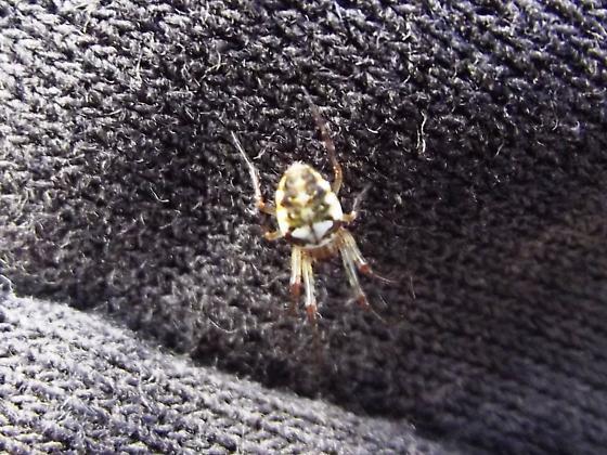 Araneus spp. - Metellina segmentata - female