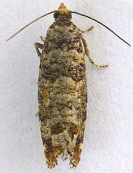 Douglas-fir Cone Moth - Barbara colfaxiana