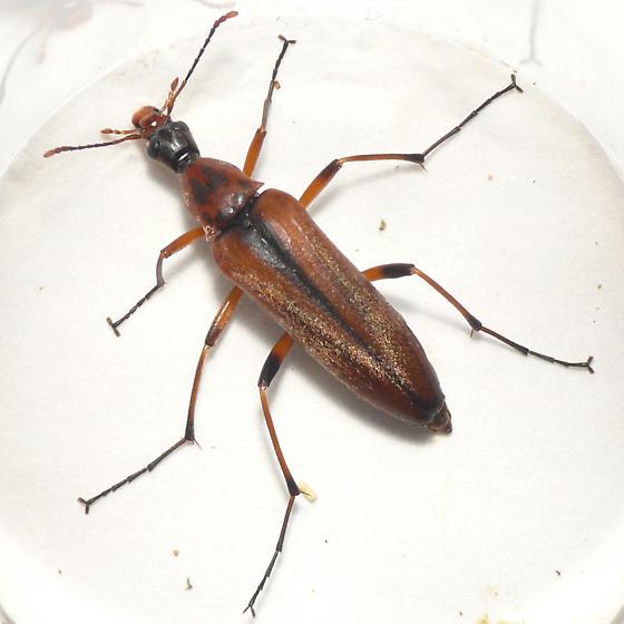 False longhorn beetle from Banff (1) 10.07.09 - Cephaloon tenuicorne