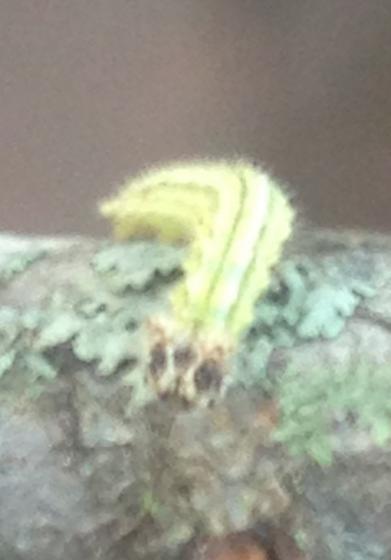 Little green caterpillar  - Asterocampa