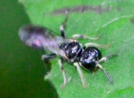 Rhopalum sp. Crabronid wasp? - Lindenius