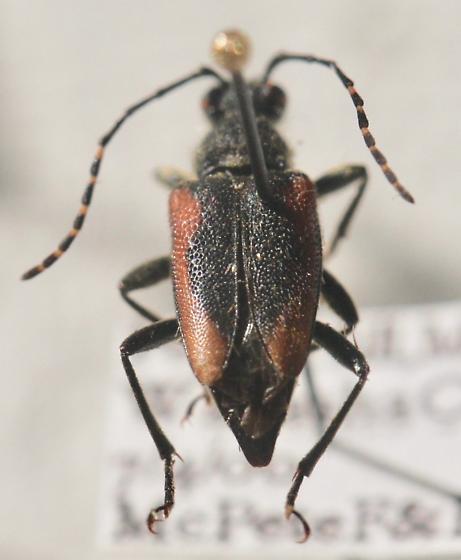 black & red cerambycid - Brachyleptura vagans