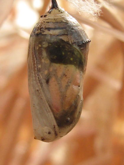Monarch chrysalis - Danaus plexippus
