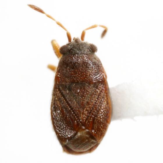 Paurocoris punctatus (Distant) - Paurocoris punctatus