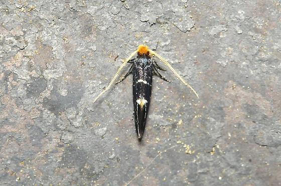 Eudarcia eunitariaeella
