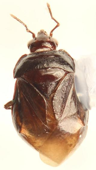 Mallochiola gagates - specimen# SM0751485 - Mallochiola gagates - female