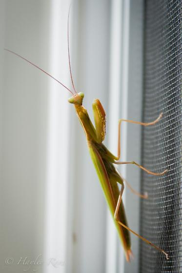 Mantis at my office window - Mantis religiosa - male