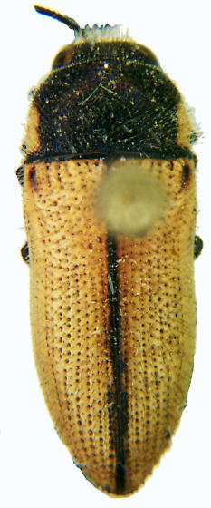 Acmaeodera immaculata Horn - Acmaeodera immaculata
