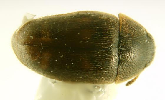 Coleoptera; Leiodidae? - Litargus
