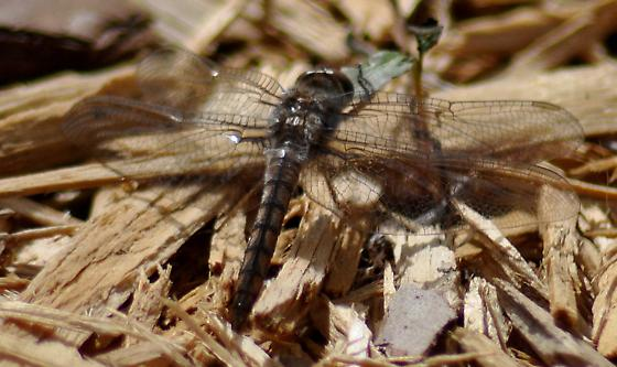 Spring Dragonfly - Ladona deplanata
