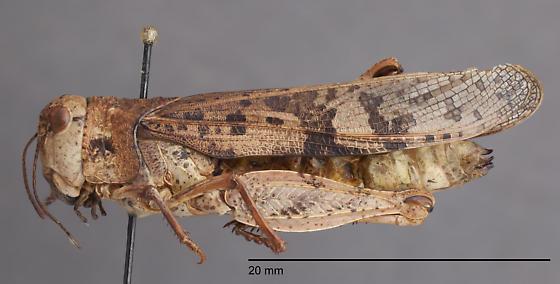 Acrididae 2 - Cratypedes neglectus - female