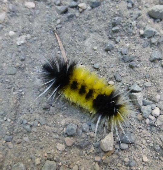 Woolly bear caterpillar? - Lophocampa maculata