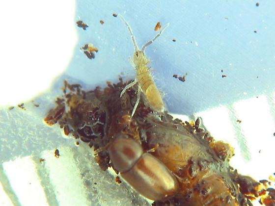 Conk springtail - Entomobrya confusa