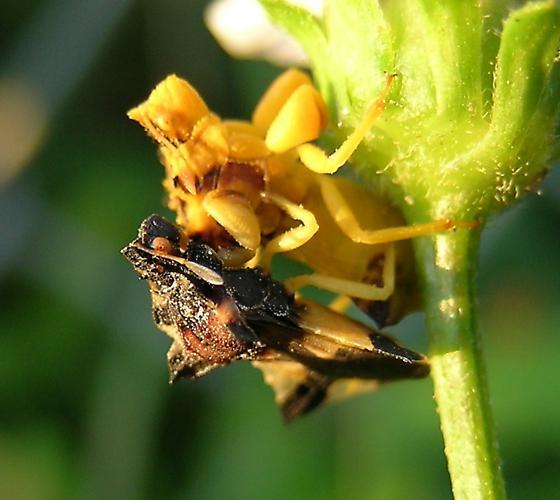 Here's the bugs - Phymata fasciata