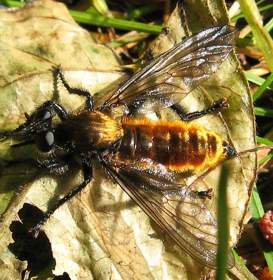 Orange-bodied fly - Laphria - female