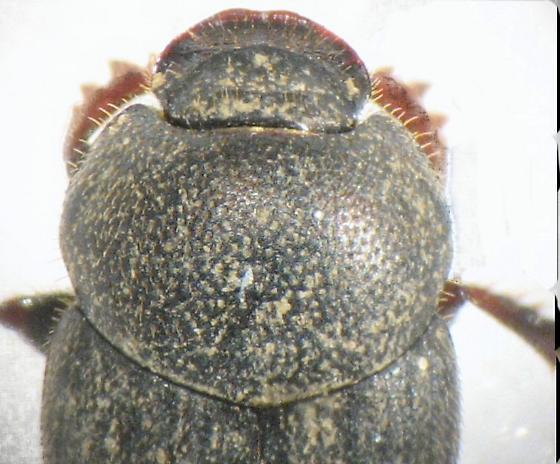 smaller dung beetle - Onthophagus pennsylvanicus