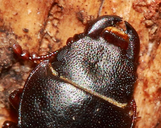 Beetle - Tenebroides laticollis