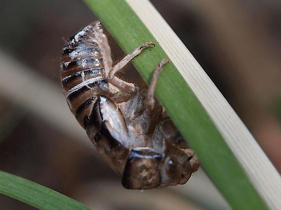 Cicada, immature - Platypedia