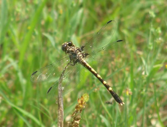 Small Dragonfly, anyone any ideas? - Progomphus obscurus - female