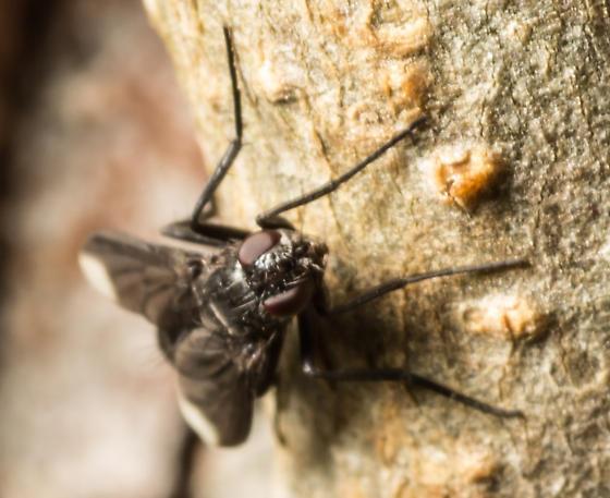 Fly - Melanophora roralis - female