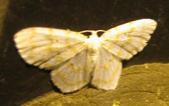 Yellow Dusted Cream? - Hydrelia albifera