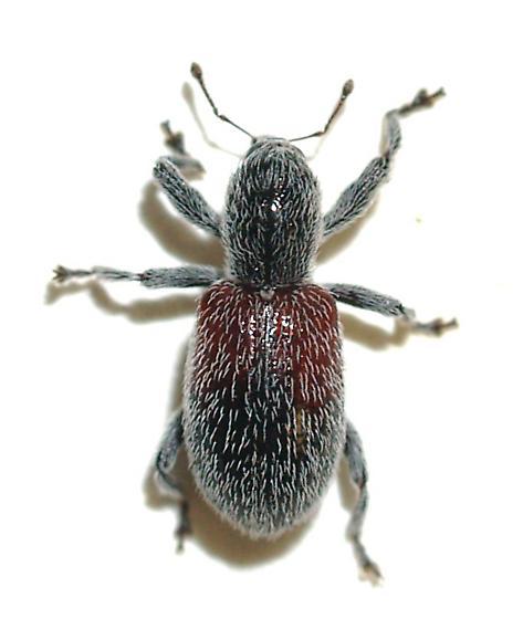 Weevil - Myrmex basalis