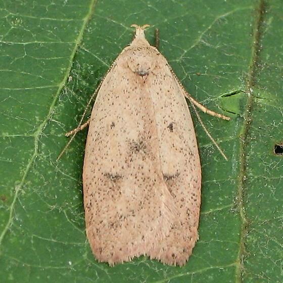 A micro moth - Machimia tentoriferella