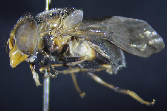 Copestylum species - Copestylum vesicularium
