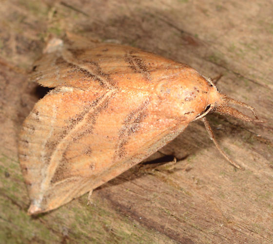 Phyprosopus callitrichoides - Curve-lined Owlet - Phyprosopus callitrichoides