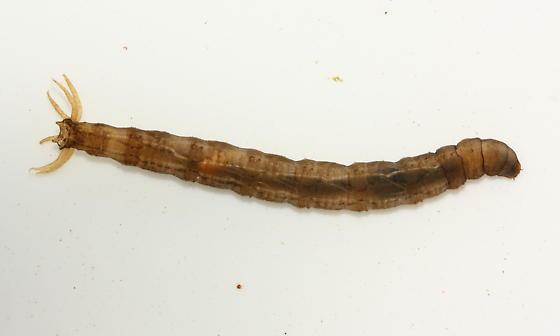 Crane Fly larva - Tipula