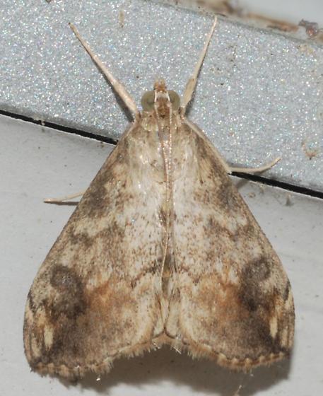 UID Moth - Evergestis rimosalis
