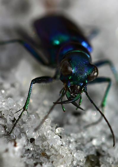 Portrait of a Tiger Beetle - Cicindela scutellaris