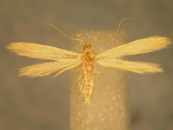 Coleophora parthenica