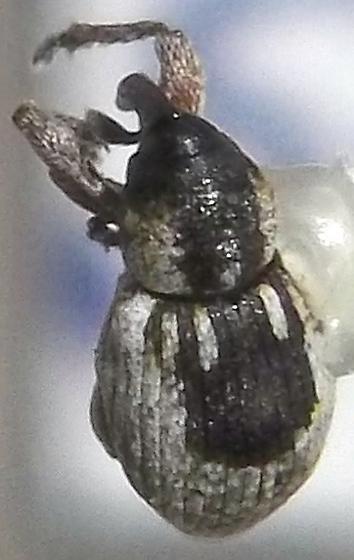 Smicronyx corpulentus LeConte - Smicronyx corpulentus
