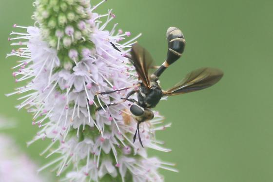 Wasp-mimic Fly on mint flowers - Physoconops brachyrhynchus - male